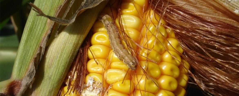 Vijačka kukuričná