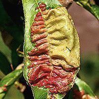 Kučeravitosť listov broskýň