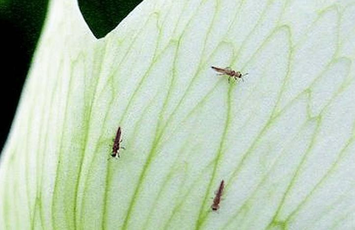Strapky na okrasných rastlinách