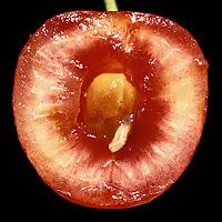 Vrtivka čerešňová
