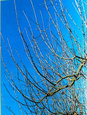 Strom plný vlkov – jabloň a hruška